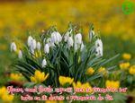Florile zapezii pier